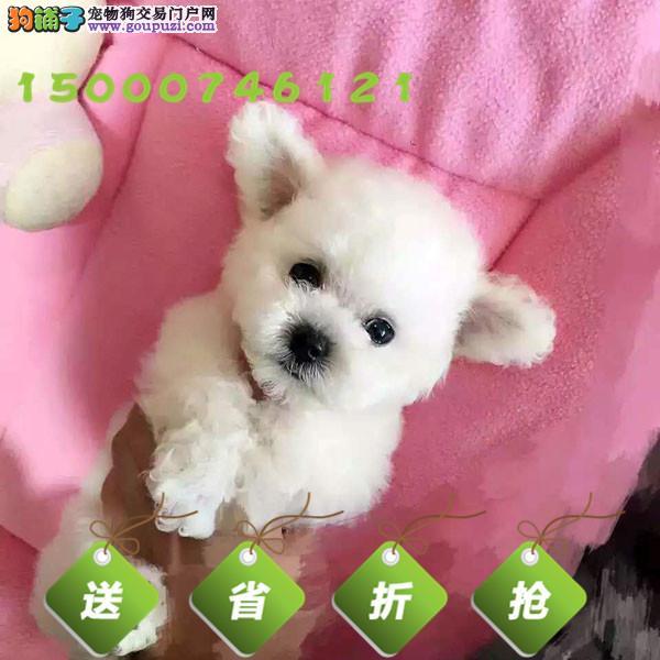 浙江娇小可爱的纯种茶杯体 玩具体泰迪熊宝宝