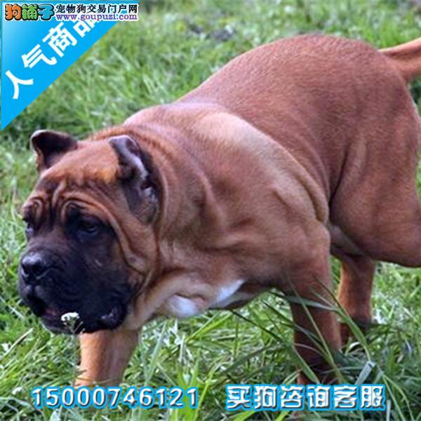 浙江纯种犬繁殖基地出售卡斯罗幼犬 疫苗做齐签订协议