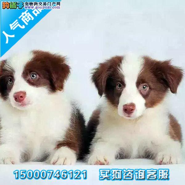 浙江出售最聪明的狗狗边境牧羊犬