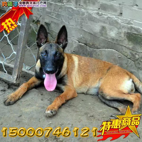 浙江出售纯种马犬 幼犬 血统纯正身体健康