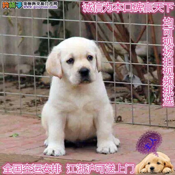 拉布拉多多少钱一只 宠物狗纯种拉布拉多幼犬