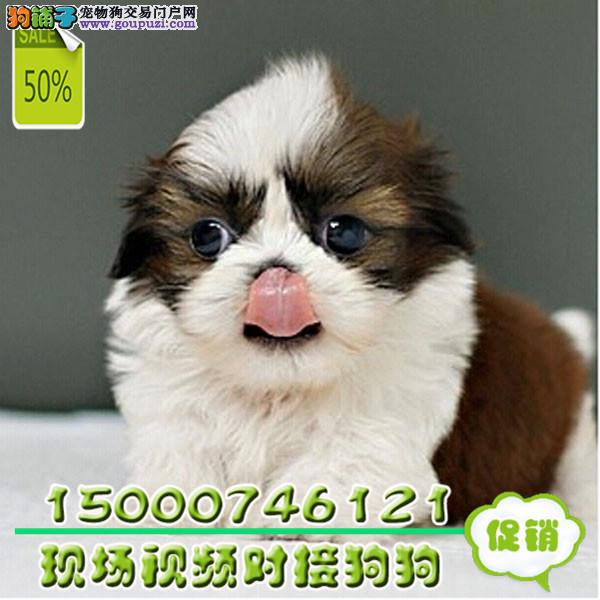 浙江漂亮的狗狗 小型伴侣犬 适合居家的西施小狗