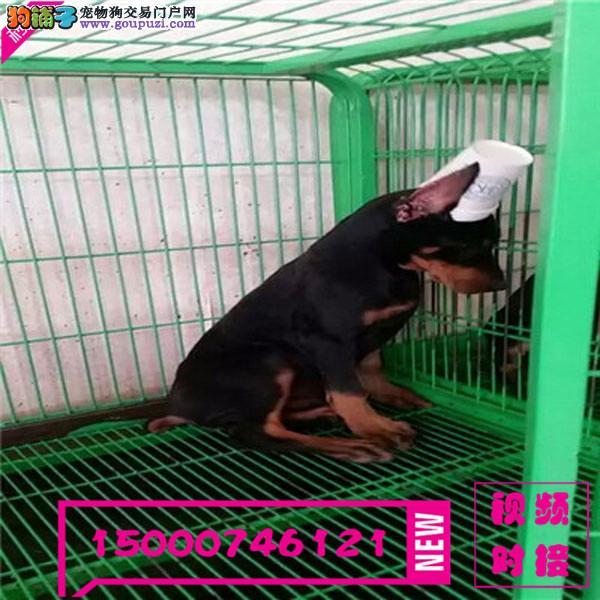 浙江德系美系杜宾幼犬出售质保纯种公母均有可来场挑
