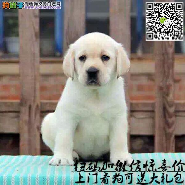 本犬舍出售,拉布拉多幼犬健康宠物狗,90天包退换