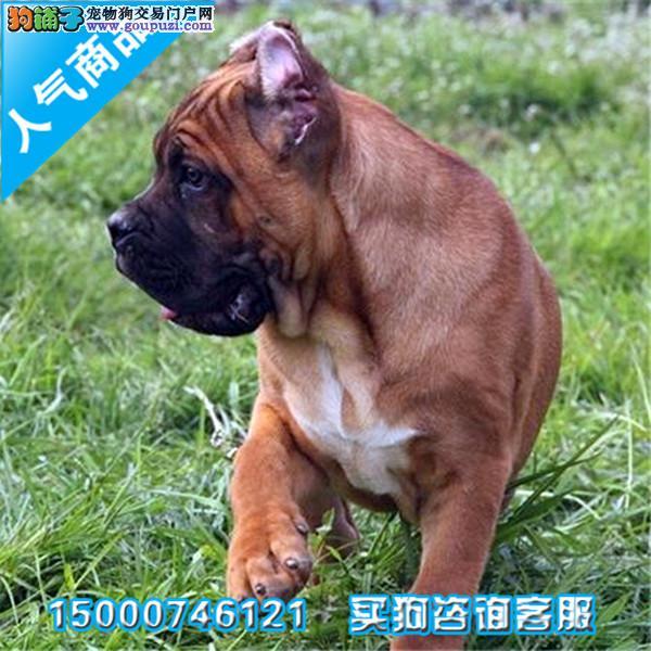 浙江出售纯种意大利护卫犬卡斯罗幼犬 猛犬卡斯罗 包健