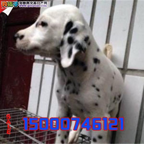 浙江狗场直销 纯种可爱斑点幼犬 保纯保健康全国