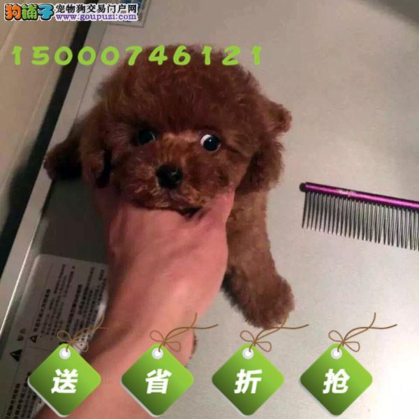 泰迪幼犬玩具泰迪犬 颜色齐全终身质保 可看视频