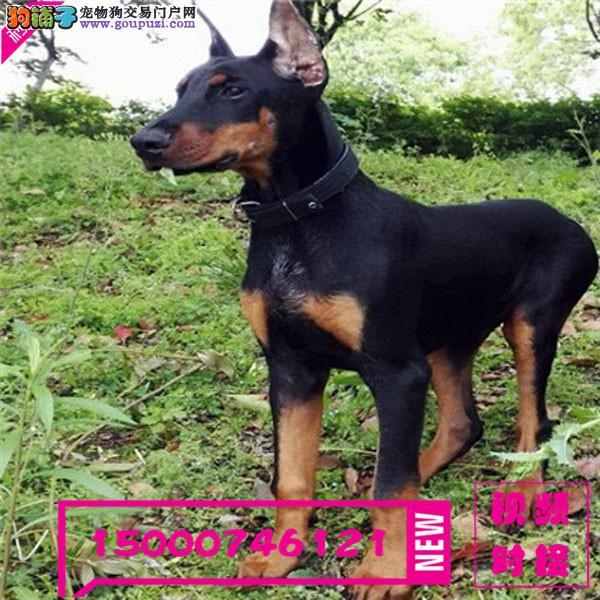 上海德系杜宾犬 黑色 咖色幼犬 按时防疫 驱虫 纯种