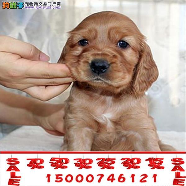 上海英系可卡 美系可卡 保纯保健康 CKU认证血统