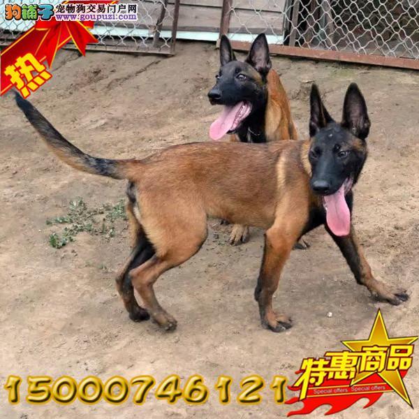 上海中国的马犬繁殖基地出售纯种马犬 保纯保健康