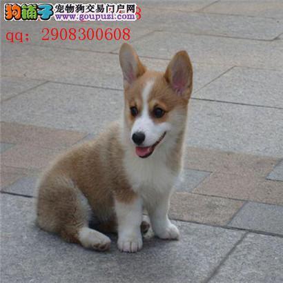 纯种柯基犬幼犬 威尔士两色三色柯基宝宝