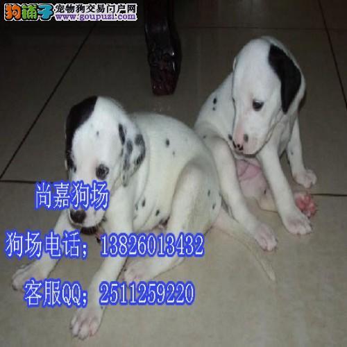 云浮珠海哪里有斑点狗卖 斑点狗的价格多少
