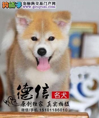 哪里有秋田犬舍纯种健康、完善售后、
