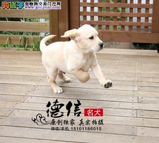 北京出售纯种健康导盲犬拉布拉多