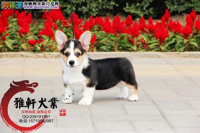 纯种威尔士柯基幼犬 包售后 保纯种 上门可签订协议