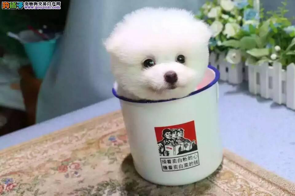 三连犬舍上海直销球体博美犬