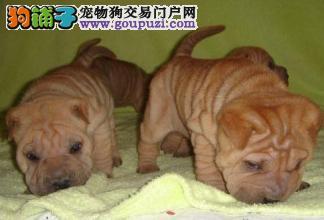 上海嘉定哪里有比较好的沙皮狗