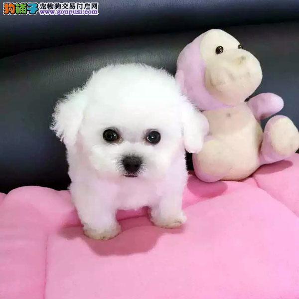 顶级优秀的纯种泰迪犬郑州热卖中专业品质一流