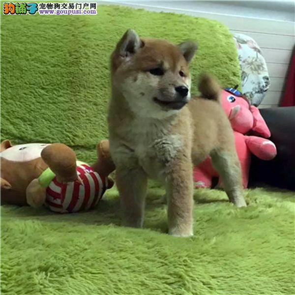 精品纯种柴犬出售质量三包微信咨询视频看狗