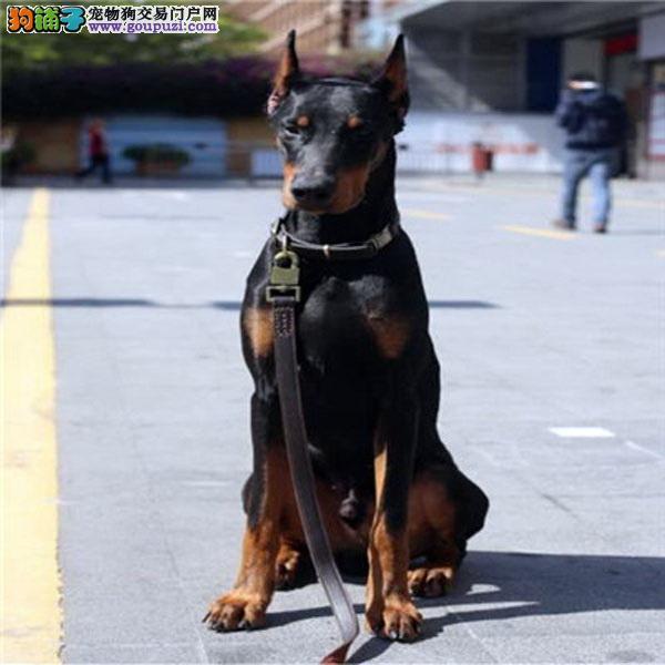 大型专业培育杜宾犬幼犬包健康微信咨询视频看狗