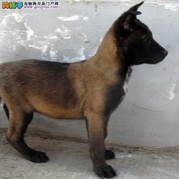 西安自家繁殖的纯种马犬找主人办理血统证书