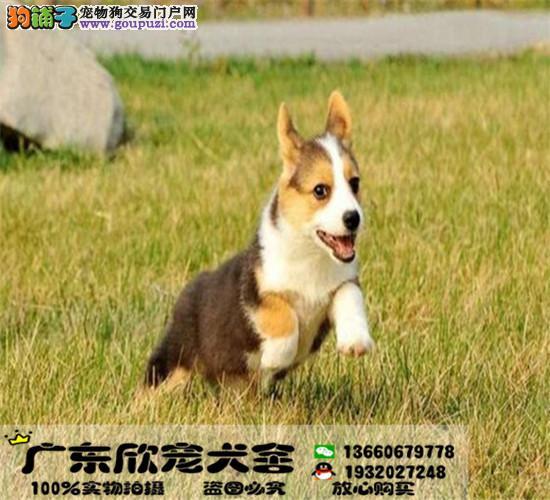 纯种顶级柯基犬短粗腿、三色柯基、两色柯基、通风围脖