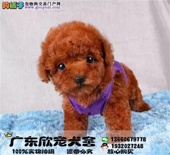 茶杯泰迪、玩具泰迪、迷你泰迪、均有待售、可看狗