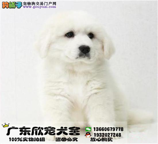 雪兽系大白熊幼犬、骨骼大、毛质好、三针齐、签协议