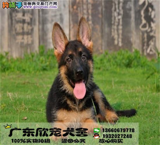 犬舍直销狼狗幼犬、现场多只待售、品相好、质保终生
