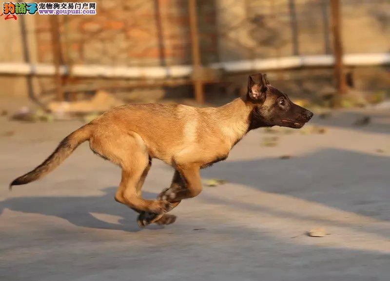 黑脸红毛黑毛马犬,会上树的捕猎看家能手