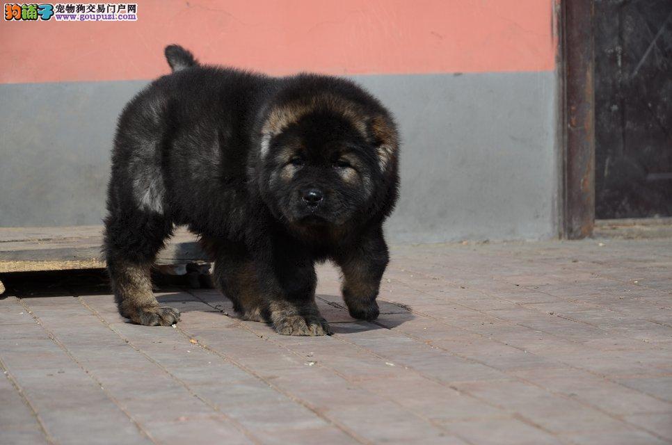 超大骨量高加索幼犬 冠军品质
