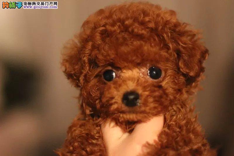 微小乖巧智慧泰迪熊 毛色均匀品相好