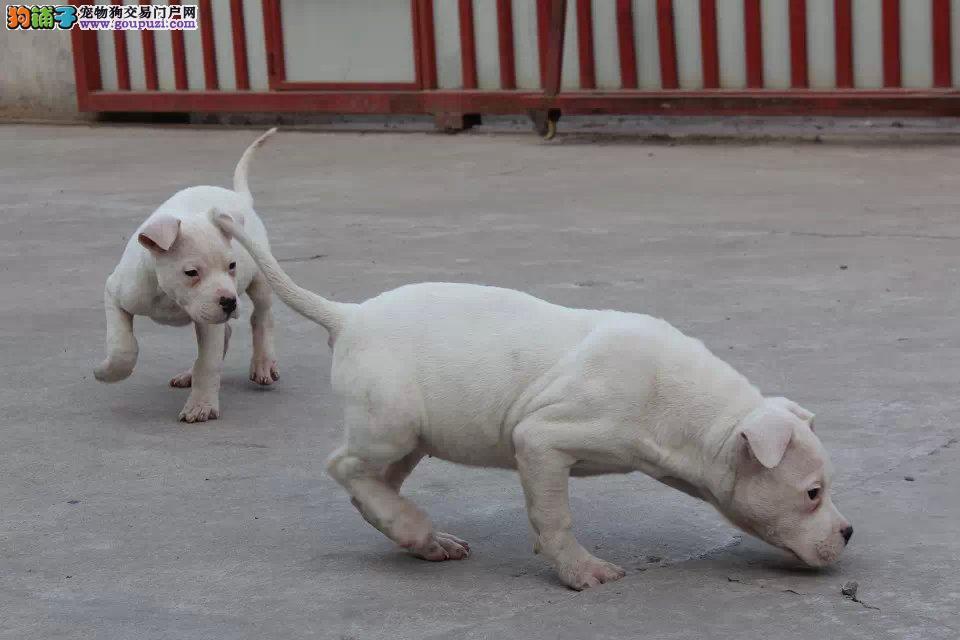 顶级阿根廷大骨量杜高幼犬多只可选