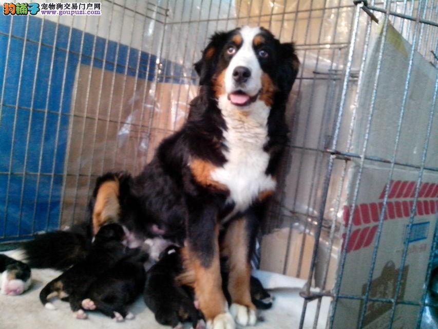 售瑞士伯恩山地犬 专业繁殖 血统纯正