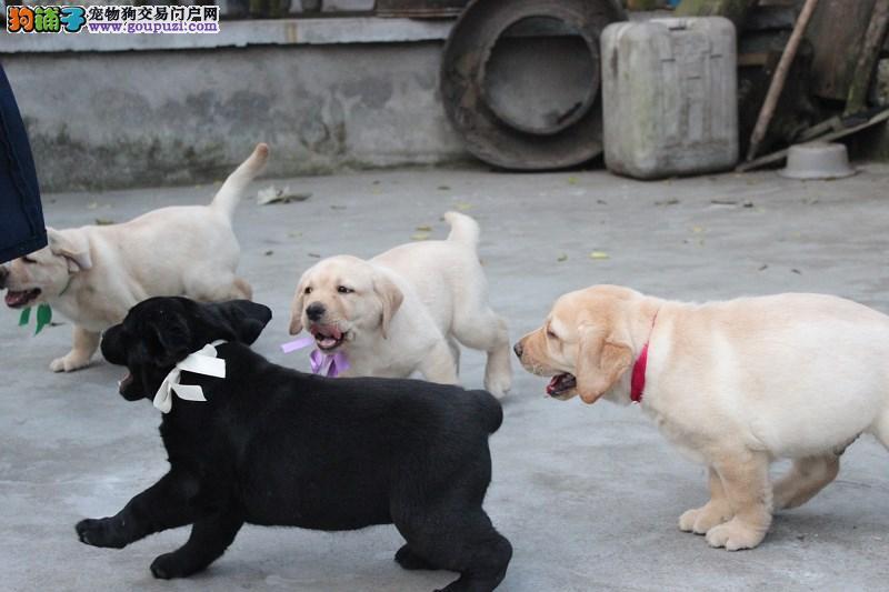 拉布拉多犬聪明易训赛级纯种拉布拉多