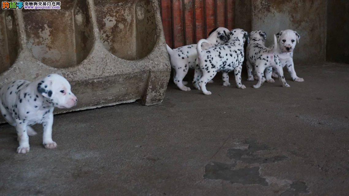 纯种斑点,大麦町犬,公母均有