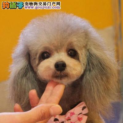 正规犬舍繁殖 泰迪熊幼犬,体积颜色都可选