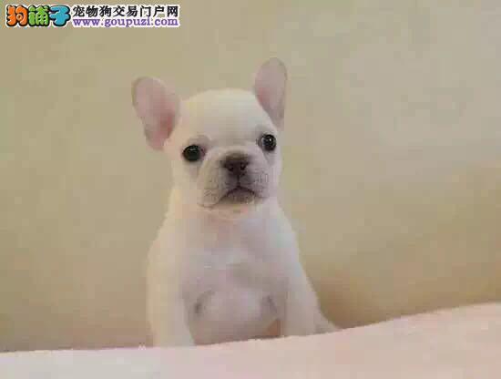南昌CKU认证犬舍出售高品质法国斗牛犬狗贩子请绕行
