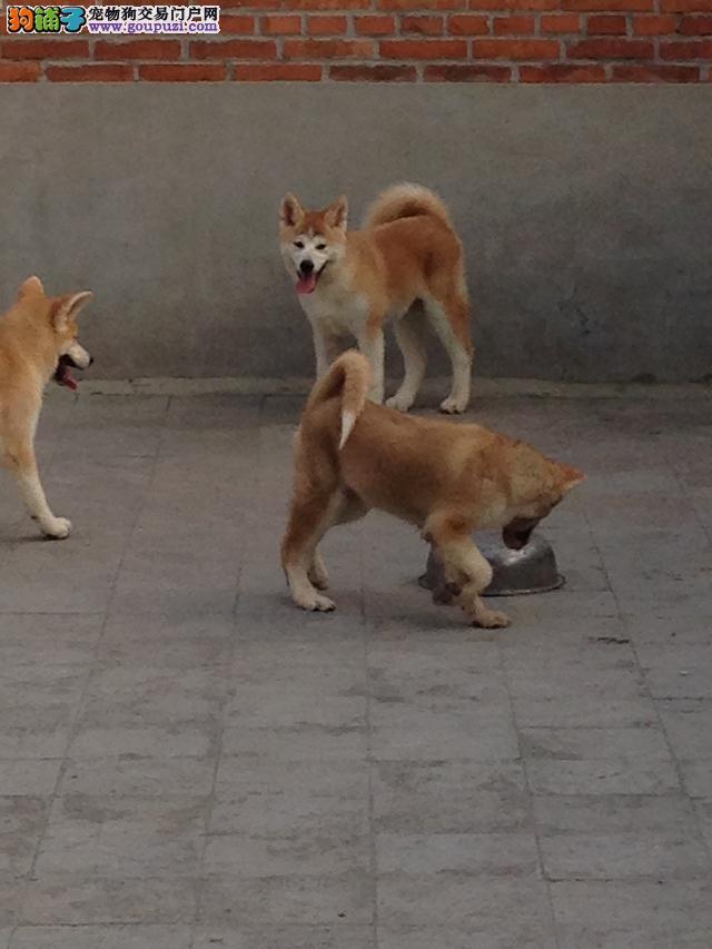 忠犬八公,日系秋田犬 纯种秋田 疫苗齐全