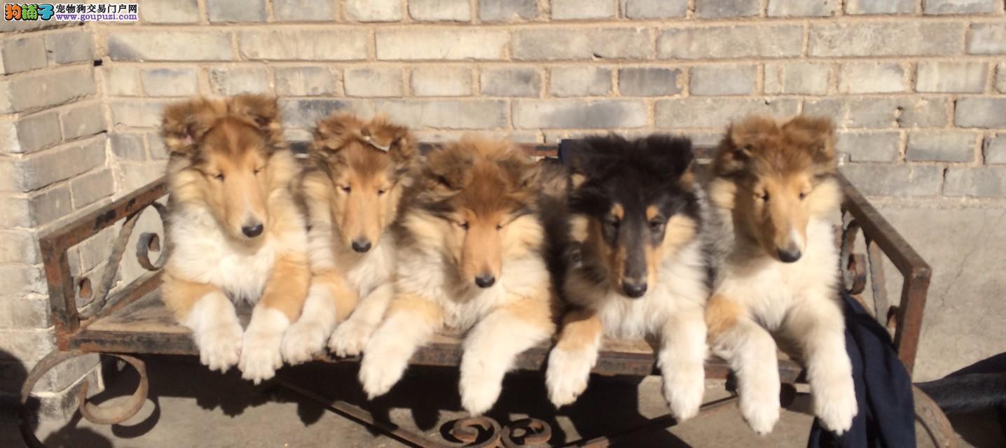 纯种犬繁殖基地售高品质苏牧犬