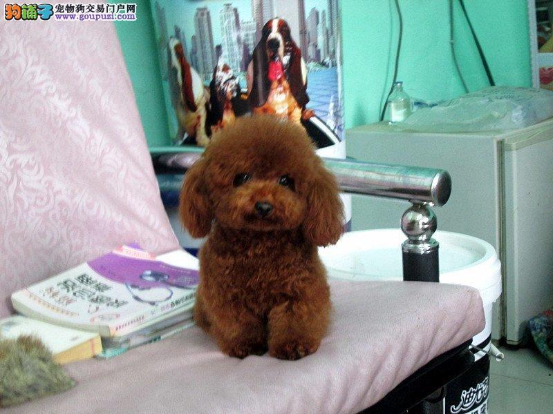 红色 灰色 玩具 茶杯等泰迪犬