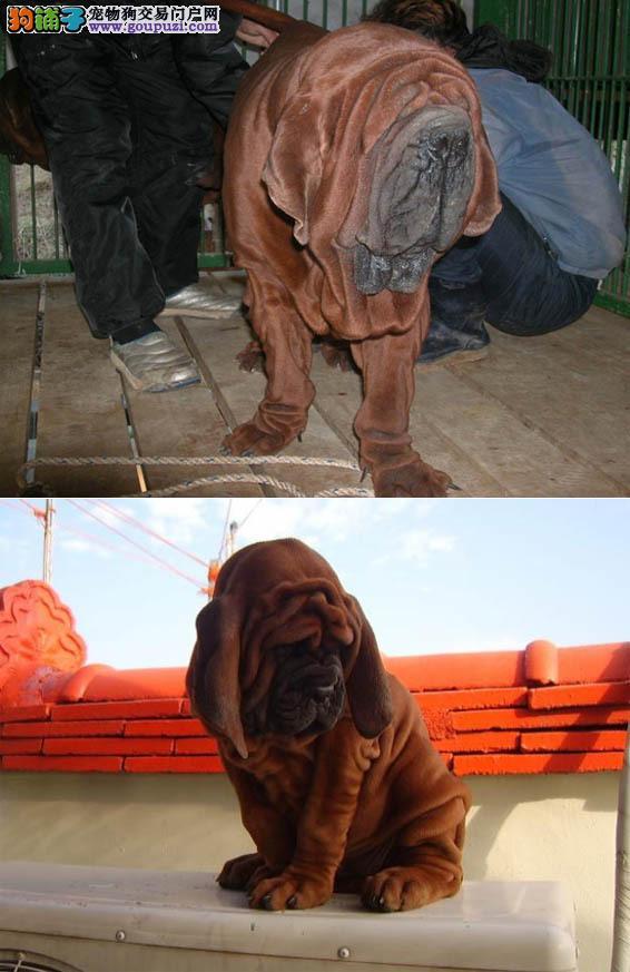 养殖基地出售纯种健康的杜莎犬 公母均有