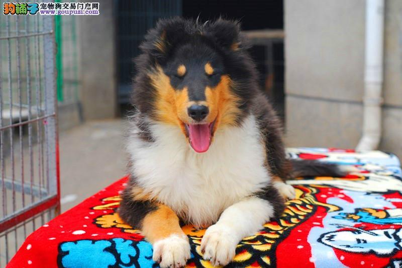 纯种苏格兰牧羊犬幼犬 毛色靓体型佳两色三色