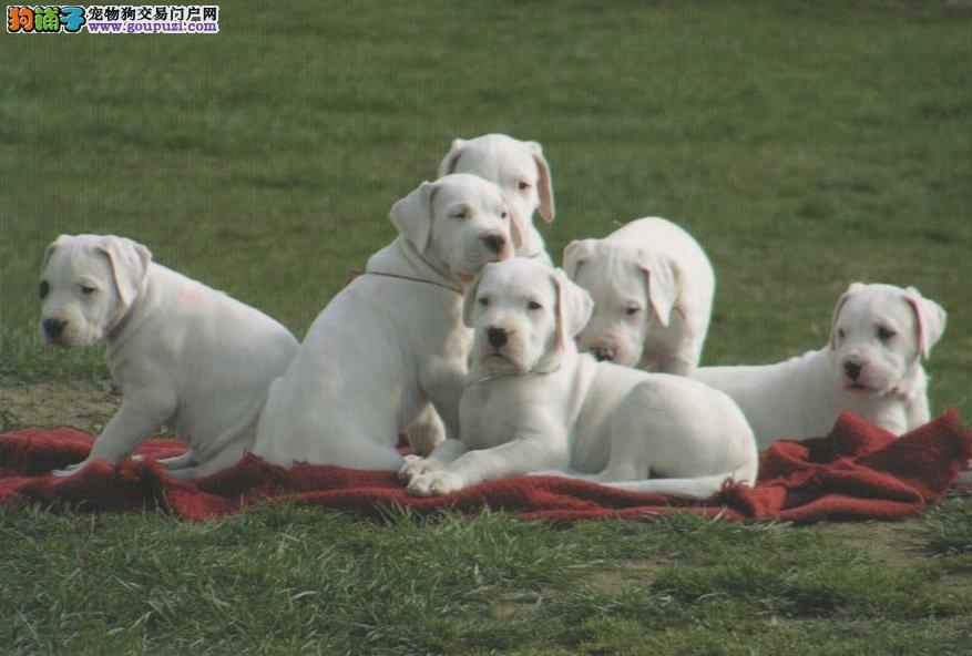 顶级 杜高犬。犬舍直销、让顾客买的优惠、放心和纯种