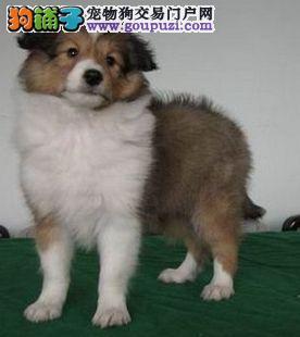 高品质苏格兰牧羊犬带血统出售中 终身质保 可签协议