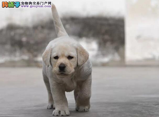 正规狗场买拉拉犬,保健康纯种,合同三包,免费送货