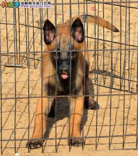 买纯种 马犬 三年联保/签协议/赠狗狗户口