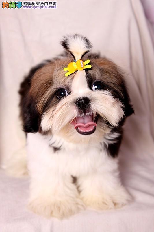 出售纯种可爱,西施犬,宝宝健康品质有保证