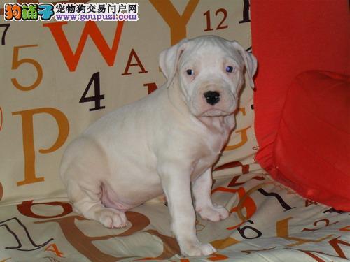 杜高犬,公母都有,包纯种,有血统证,带芯片