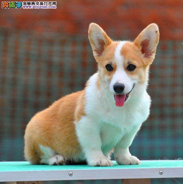 出售威尔士柯基犬,品相好健康有保障 可签购犬协议